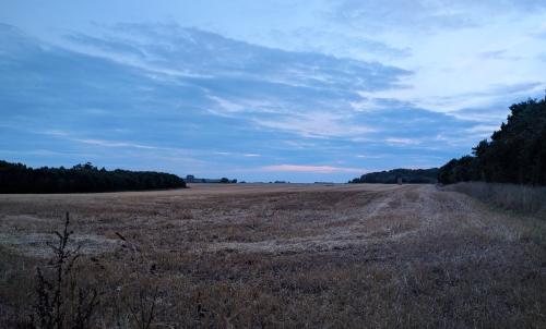 Wheat field and a dusky pink sky